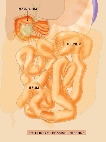 small intestine and capsule endoscopy